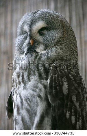 Great Grey Owl resting - stock photo