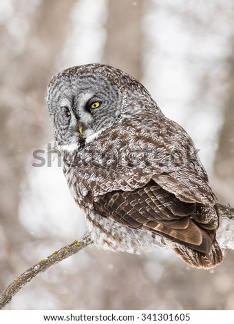 Great Grey Owl sitting on a tree branch during a storm - stock photo