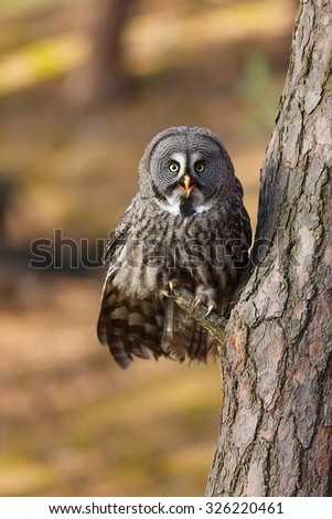 Great Grey Owl sitting on the tree