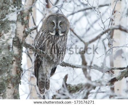 Great grey owl staring on the perch - stock photo