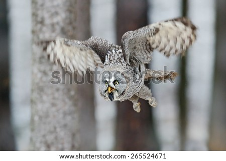 Great Grey Owl, Strix nebulosa, flight in the forest, blurred trees in background - stock photo