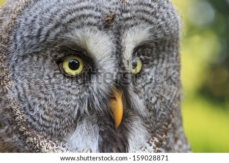 Great Grey Owl very close up - stock photo