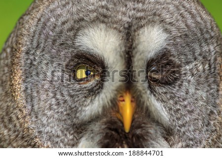 Great Grey Owl with one close up eye - stock photo