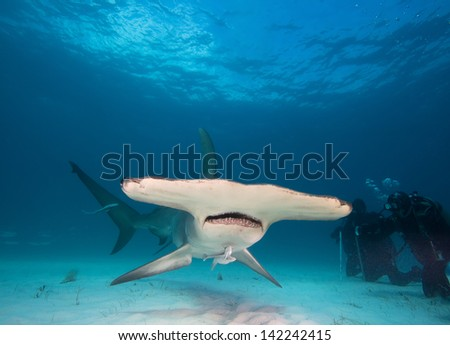 Great hammerhead and divers - stock photo