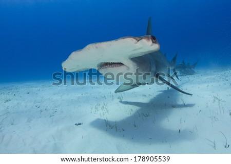 Great Hammerhead in the Bahamas - stock photo