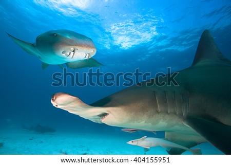 Great Hammerhead Shark and Nurse Shark - stock photo