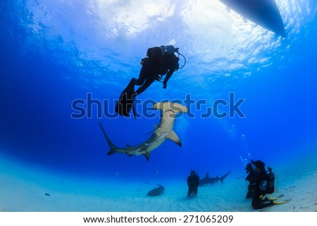 Great Hammerhead shark bottom up view of an encounter with diver in Bimini, Bahamas - stock photo