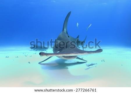 Great Hammerhead Shark (Sphyrna mokarran) - stock photo