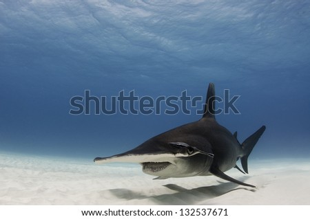 Great hammerhead shark, Sphyrna mokarran, in the Bahamas - stock photo