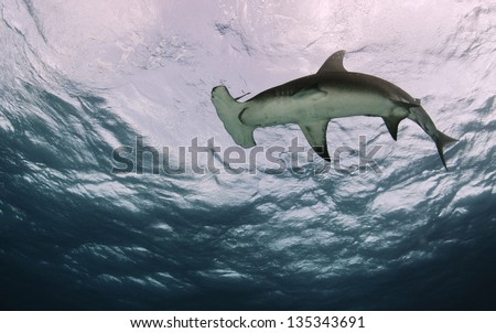 Great hammerhead shark, sphyrna mokarran, shot from below. - stock photo