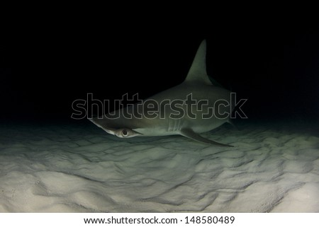 Great Hammerhead Sharks in Bimini, Bahamas