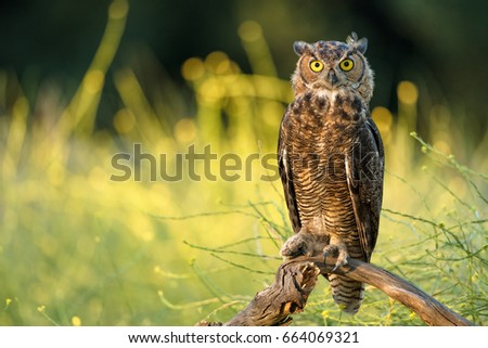 Great Horn Owl