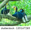 Great hornbill - stock photo