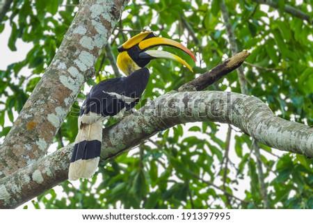 Great Hornbill (Buceros bicornis)  nature at Khao Yai National Park,Thailand  - stock photo