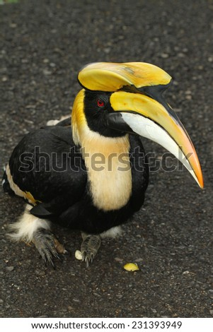 Great hornbill, Great indian hornbill, Great pied hornbill - stock photo