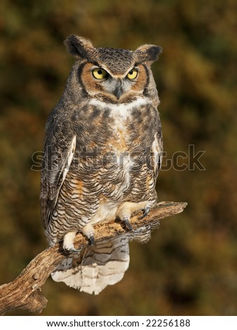 Great horned(Bubo virginianus) owl posing on a branch - stock photo