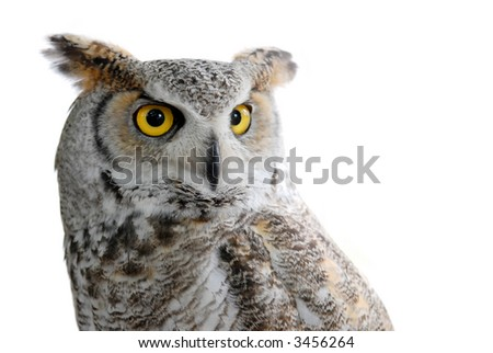 great horned eagle owl or bubo virginianus - stock photo