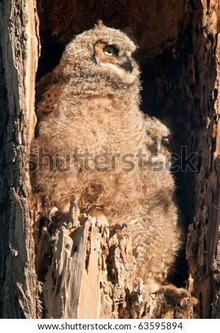 Great Horned Owl Babies - stock photo