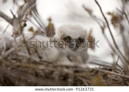 Great Horned Owl Babies in Nest - stock photo