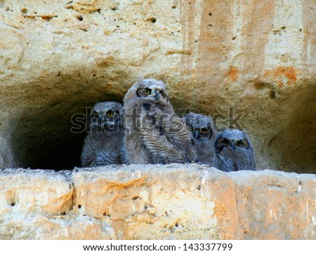 great horned owl babies. owlets on a cliff - stock photo