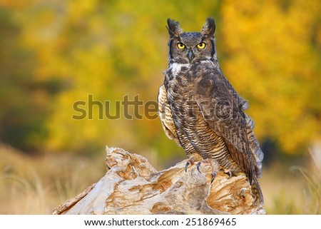 Great horned owl (Bubo virginianus) sitting on a stump - stock photo