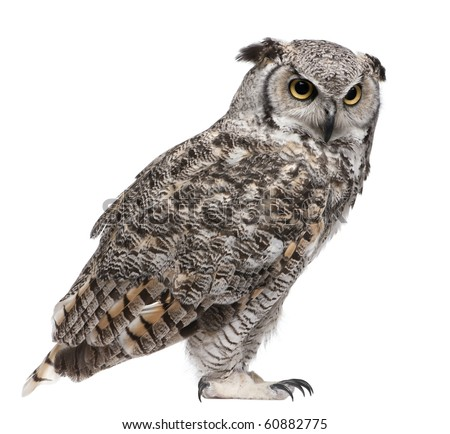 Great Horned Owl, Bubo Virginianus Subarcticus, in front of white background - stock photo