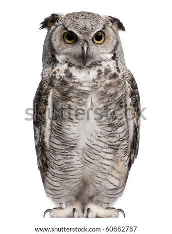 Great Horned Owl, Bubo Virginianus Subarcticus, in front of white background
