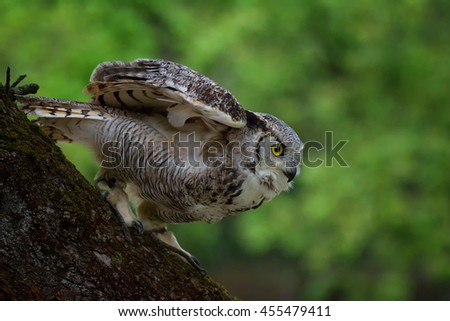 Great horned owl (Bubo virginianus) the tree prepares for flight - stock photo