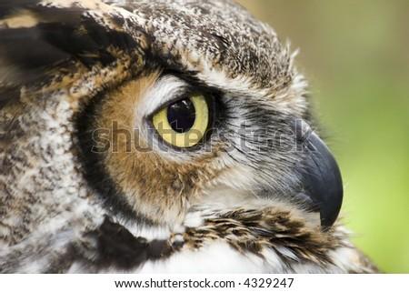 Great Horned Owl Close Up Headshot - stock photo