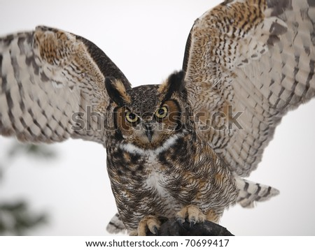 Great Horned Owl closeup - stock photo