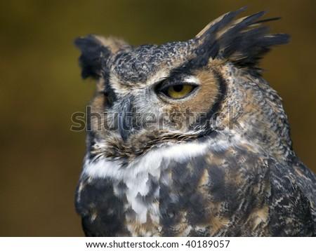 Great Horned Owl closeup a majestic bird. - stock photo