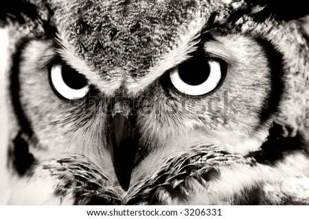 Great Horned Owl Closeup in Black & White - stock photo