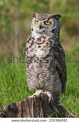 Great horned owl facing the camera. A magnificent great horned owl stares at the camera from its perch on a tree trunk. - stock photo