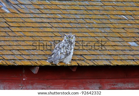 Great Horned Owl fledgling on roof - stock photo