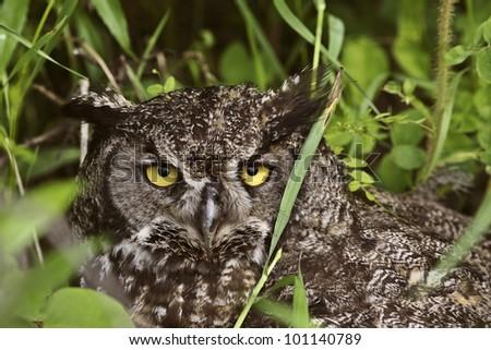 Great Horned Owl fledling hiding in tall grass - stock photo