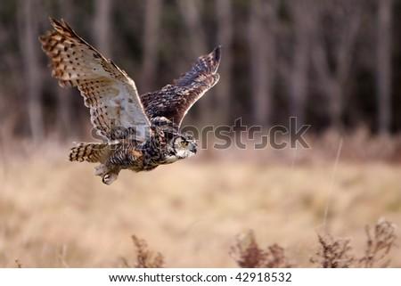 Great Horned Owl in flight. - stock photo