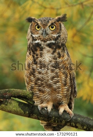 Great Horned Owl In The Fall - stock photo