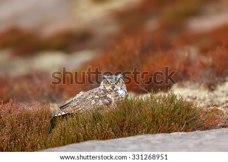 Great horned owl in the heather - stock photo