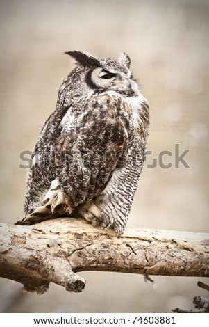 Great Horned Owl in the Wild - stock photo