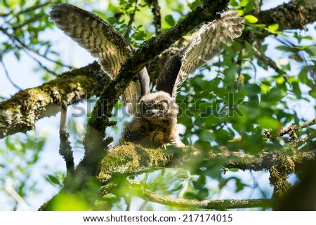 Great Horned Owl (Juvenile). - stock photo