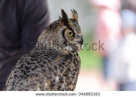 Great Horned Owl   (latin name Bubo virginianus) with golden eyes perching,