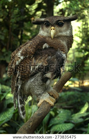 Great Horned Owl on a limb