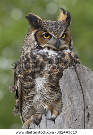 Great Horned Owl on Fence Post - stock photo