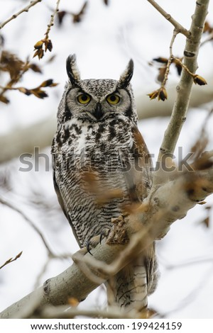 Great-Horned Owl perched in a tree branch, Alberta Canada - stock photo