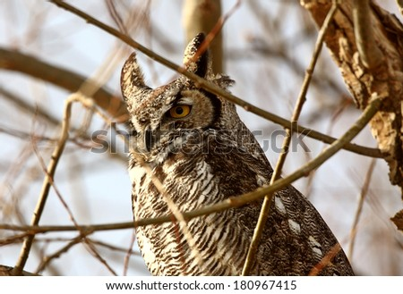Great Horned Owl perched in winter tree - stock photo