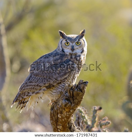 Great Horned Owl perching on a branch - stock photo