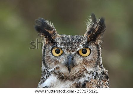 Great Horned Owl Portrait - stock photo