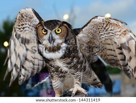 Great horned owl ready to fly off with wings half spread - stock photo