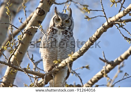 Great Horned Owl Saskatchewan - stock photo