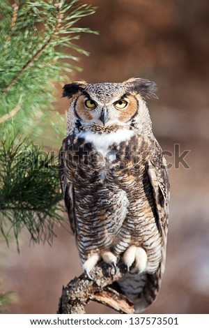 Great Horned Owl sits on a pearch and stares into the camera. Room for text above the owl. - stock photo